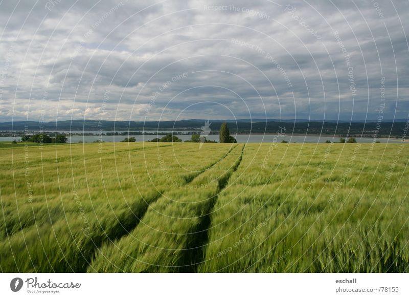 Seerhein Farbfoto Gedeckte Farben Außenaufnahme Weitwinkel Getreide ruhig Ferne Natur Landschaft Wasser Himmel Wolken Wind Nutzpflanze Feld grau grün friedlich