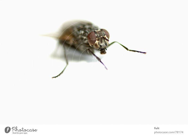 fliege Natur Tier Beine warten Fliege sitzen Insekt Biene