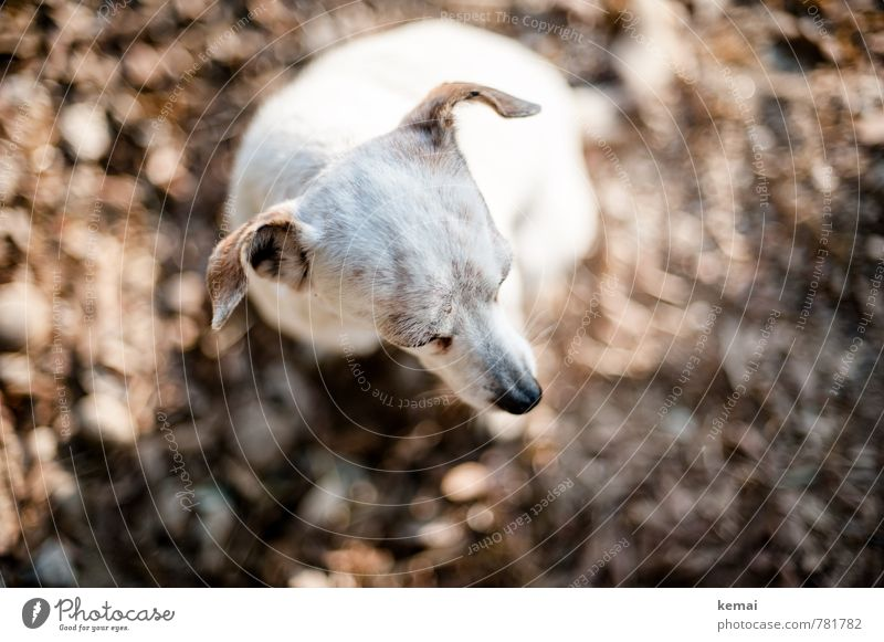 Wachhund Tier Haustier Hund Fell Kopf Ohr Schnauze 1 sitzen warten hell weiß Vertrauen Geborgenheit Wachsamkeit Gelassenheit geduldig ruhig Farbfoto