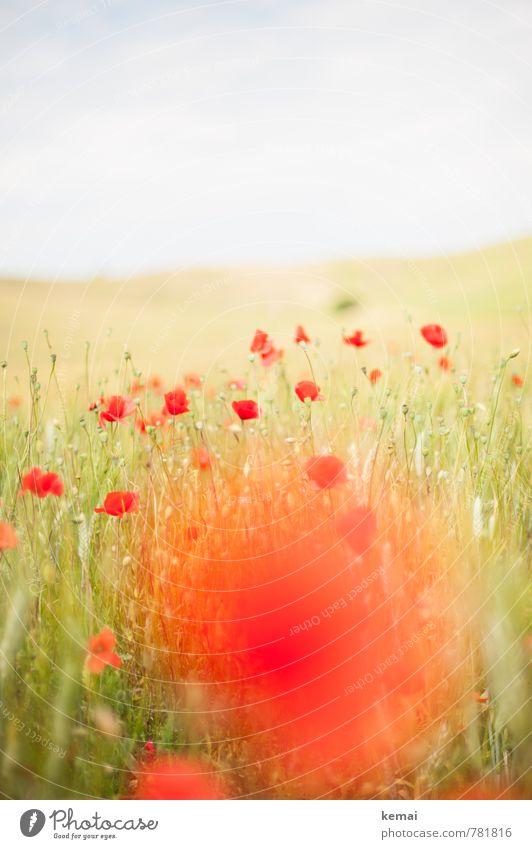 Mohntag Himmel Natur Pflanze schön grün Sommer rot Blume Umwelt Wiese Gras hell Feld Wachstum frisch Blühend