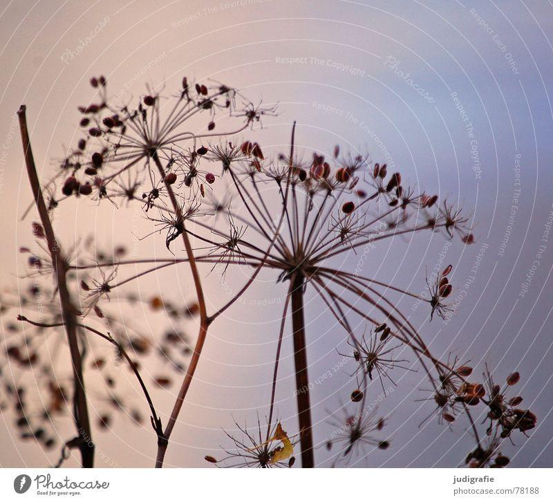Herbstlich Natur Himmel blau Pflanze Herbst Tod See Umwelt Stern (Symbol) Ende dünn Wildtier trocken Botanik Teich vertrocknet