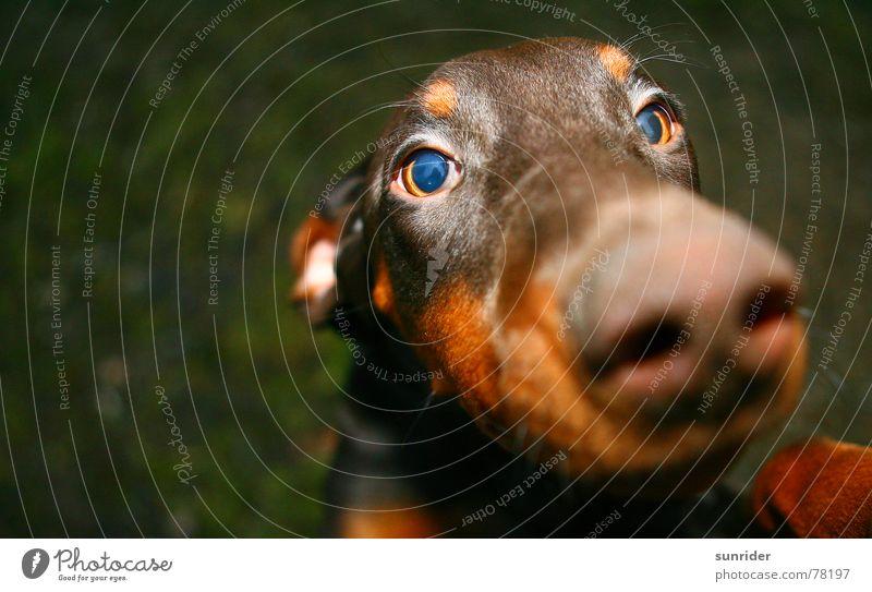 Ich will doch nur spielen Auge Tier Hund braun Treue Dobermann