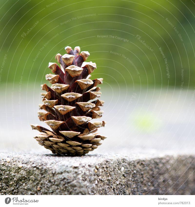 der Zapfen Stein Ecke Am Rand stehen ästhetisch positiv braun grau grün Natur vertikal offen Samen 1 Lamelle Farbfoto Außenaufnahme Menschenleer