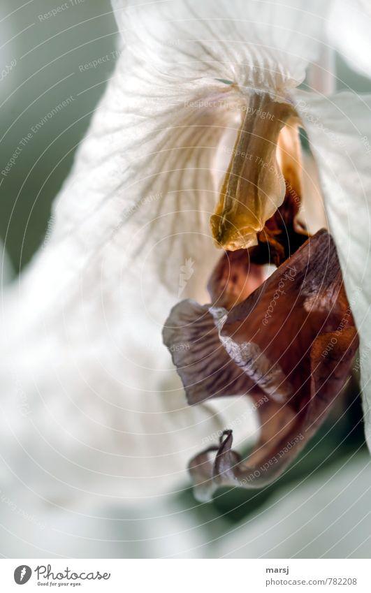 Durststrecke l nicht überlebt Pflanze Orchidee Blüte alt natürlich Traurigkeit Tod vertrocknet verdurstet hässlich Vergänglichkeit Farbfoto Gedeckte Farben