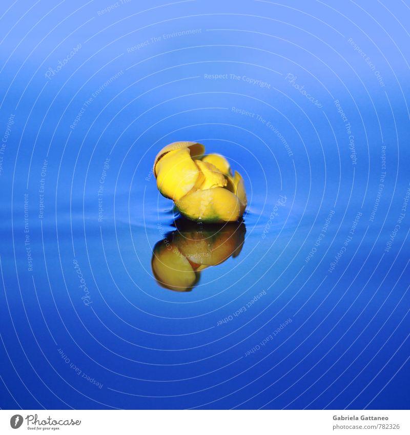 The Yellow Submarine Natur Pflanze blau gelb Blütenknospen Seerosen Wasser Wasseroberfläche Reflexion & Spiegelung Oberflächenspannung Gelassenheit still