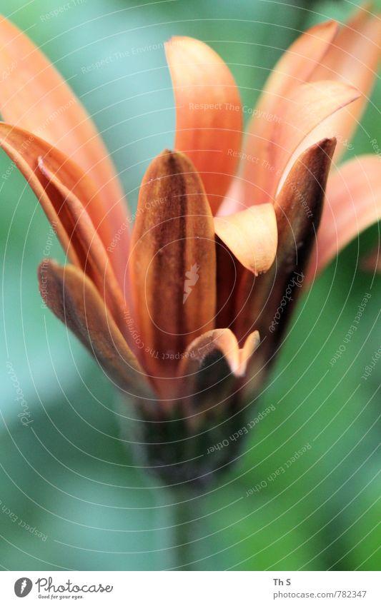 Sommer Natur schön grün Pflanze Frühling Blüte natürlich orange elegant authentisch ästhetisch einfach Blühend Duft Frühlingsgefühle