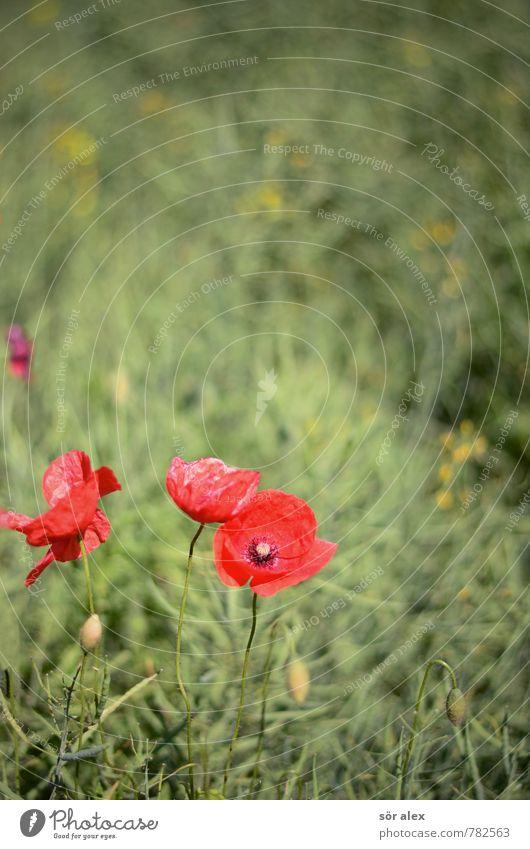 Mohn Natur Pflanze grün Erholung rot Blume ruhig Umwelt Blüte Feld Gelassenheit nachhaltig Vorsicht Blumenwiese geduldig