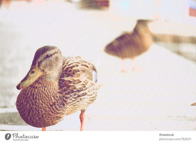 Duck die Ente Tier Auge Küste Garten Vogel Park Wildtier stehen beobachten Seeufer Bucht Flussufer Nutztier Entenvögel