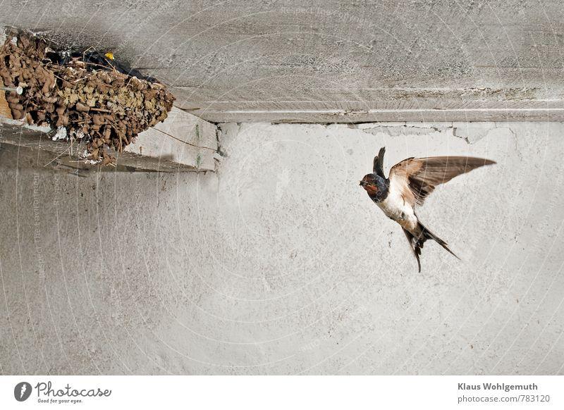 Hotel Mama Umwelt Natur Tier Frühling Sommer Wildtier Vogel Tiergesicht Flügel Rauchschwalbe 1 Tierjunges Tierfamilie fliegen füttern schlafen warten ästhetisch