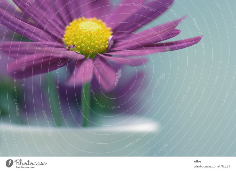 Plümli Blume Pflanze Vase Pflanzenteile Astern