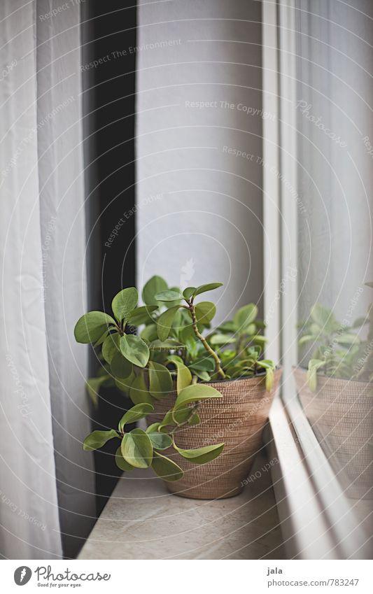 fensterbank Häusliches Leben Wohnung Dekoration & Verzierung Vorhang Pflanze Grünpflanze Topfpflanze Zimmerpflanze Blumentopf Fenster Fensterbrett ästhetisch