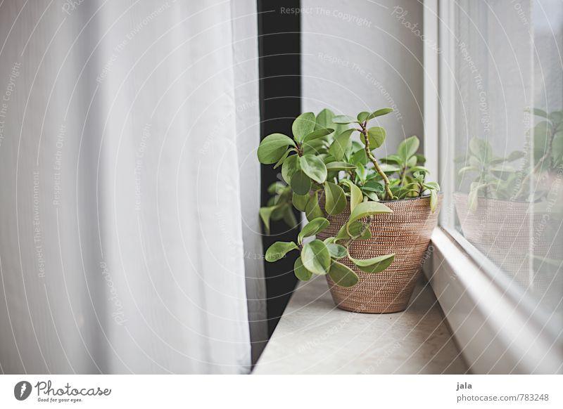 fensterbank Häusliches Leben Wohnung Vorhang Pflanze Grünpflanze Topfpflanze Zimmerpflanze Fenster Fensterbrett ästhetisch natürlich Farbfoto Innenaufnahme