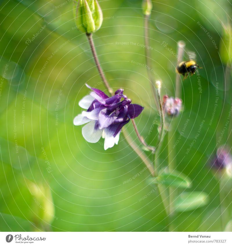 Abflug Garten Tier Hummel 1 hell gelb grün violett Maschendrahtzaun Insekt Blume sommerlich Blüte Wachstum Leben Jahreszeiten Bewegungsunschärfe fliegen Flügel
