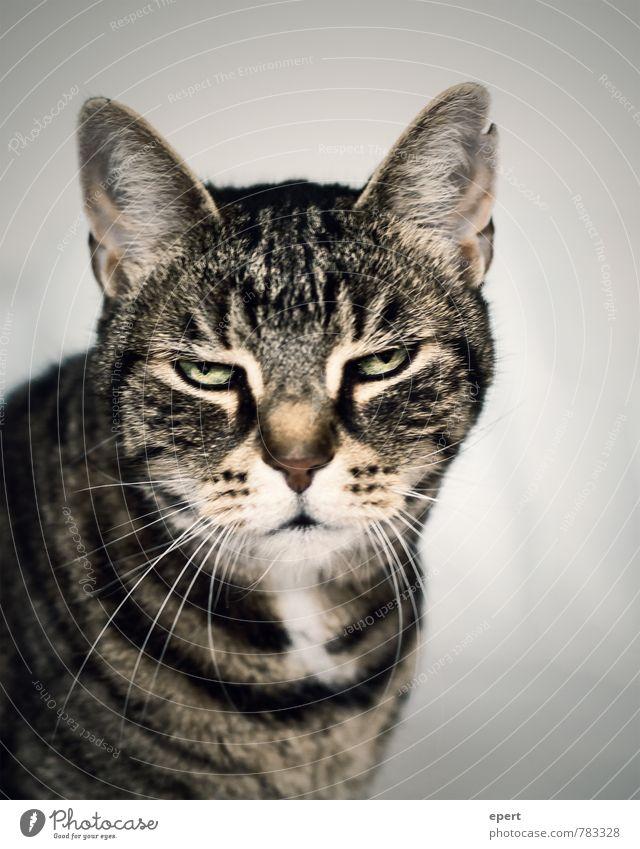 Katerstimmung Tier Haustier Katze 1 lustig Langeweile Müdigkeit Unlust Trägheit Gelassenheit Stimmung verkatert Farbfoto Gedeckte Farben Innenaufnahme