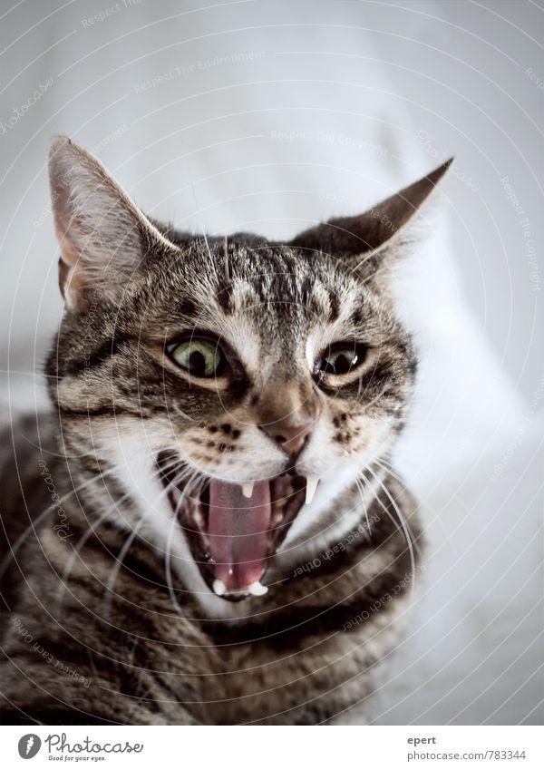 Wechselstrom/Gleichstrom Tier Haustier Katze 1 schreien Aggression lustig rebellisch verrückt wild bizarr Trieb Landraubtier Rachen Farbfoto Gedeckte Farben