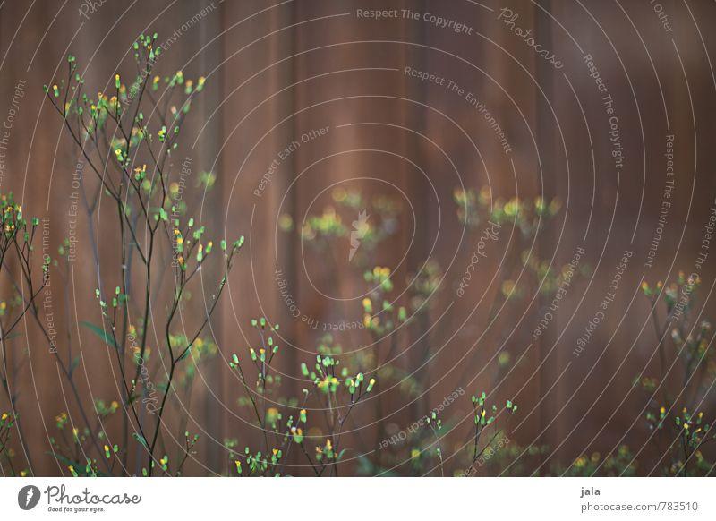 filigran Umwelt Natur Pflanze Sommer Blume Wildpflanze Garten Holzwand ästhetisch natürlich wild weich Farbfoto Außenaufnahme Menschenleer Tag