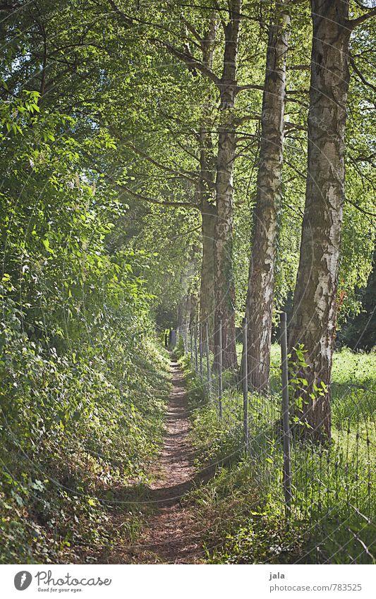 schleichweg Umwelt Natur Landschaft Pflanze Sommer Schönes Wetter Baum Gras Sträucher Grünpflanze Birke Park Wald Wege & Pfade ästhetisch schön Farbfoto