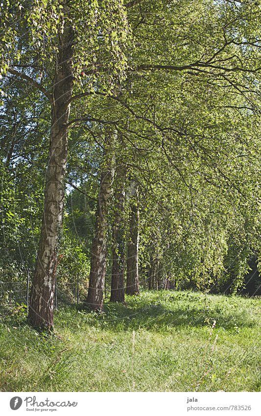 birken Natur Pflanze Sommer Baum Landschaft Umwelt Gras natürlich Park Sträucher Grünpflanze Wildpflanze Birke