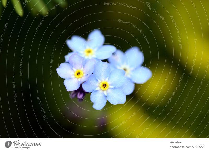 vier Sommer Umwelt Natur Pflanze Blume Blüte Vergißmeinnicht Garten ästhetisch außergewöhnlich schön klein nachhaltig natürlich positiv blau grün Gefühle Glück