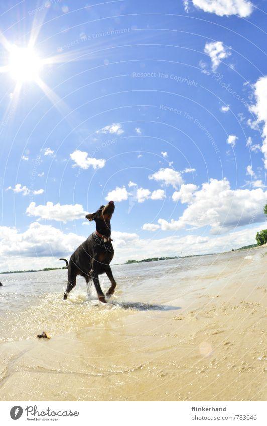 Sonnenfreude Natur Sand Himmel Wolken Sommer Schönes Wetter Wellen Flussufer Strand Tier Haustier Hund 1 leuchten rennen Spielen springen sportlich frech