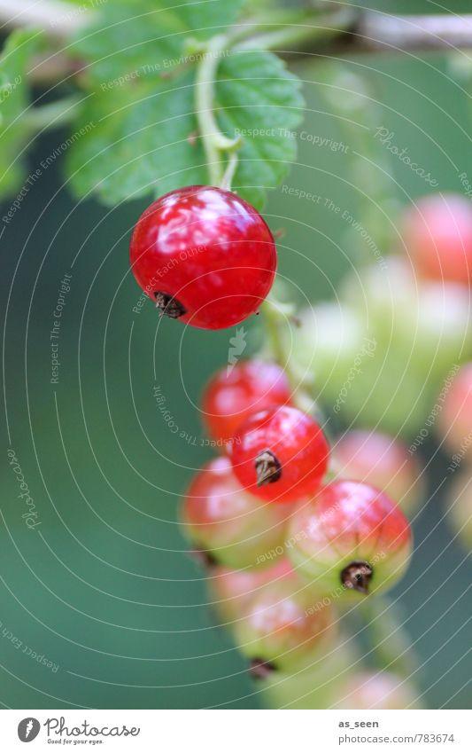 Johannisbeeren Gesundheit Leben Sommer Garten Umwelt Natur Tier Pflanze Blatt hängen leuchten Wachstum frisch lecker rund saftig sauer grün rot Reinheit