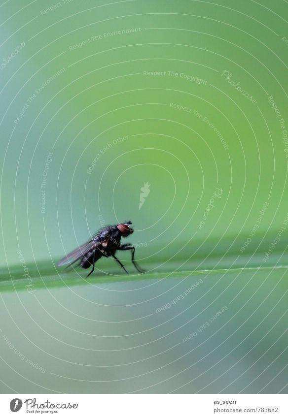 Fliege Umwelt Natur Tier Pflanze Gras Garten Wiese 1 berühren krabbeln authentisch nah natürlich grün schwarz türkis ruhig Design Präzision rein Insekt Flügel