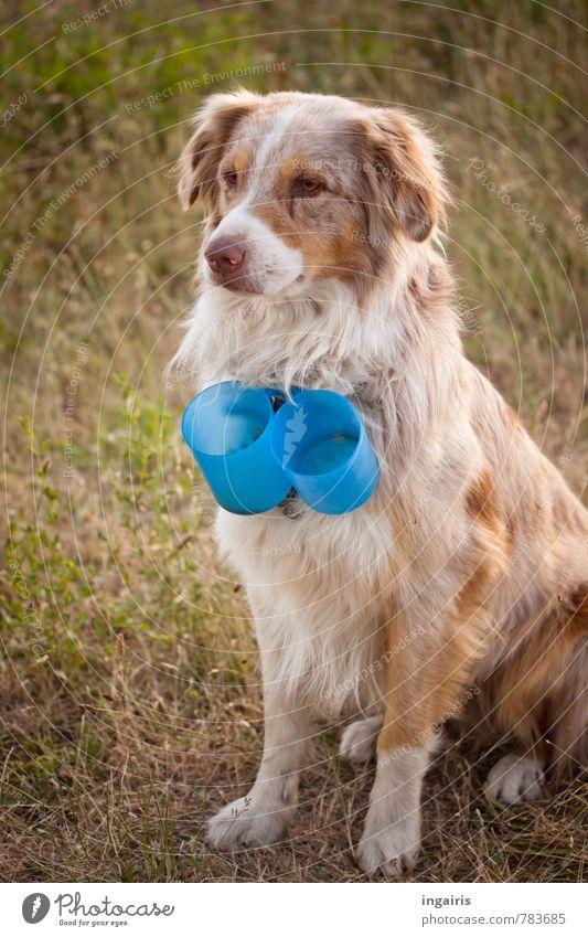 Kaffeebecherbringdienst Wiese Tier Haustier Nutztier Hund Australian shepherd dressieren 1 beobachten hocken Blick außergewöhnlich Freundlichkeit kuschlig blau