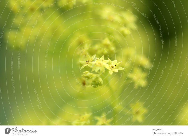 Neon stars Umwelt Natur Pflanze Stern Blume Blatt Blüte Frauenmantel Garten Park Blühend Wachstum authentisch Freundlichkeit frisch klein natürlich gelb grün