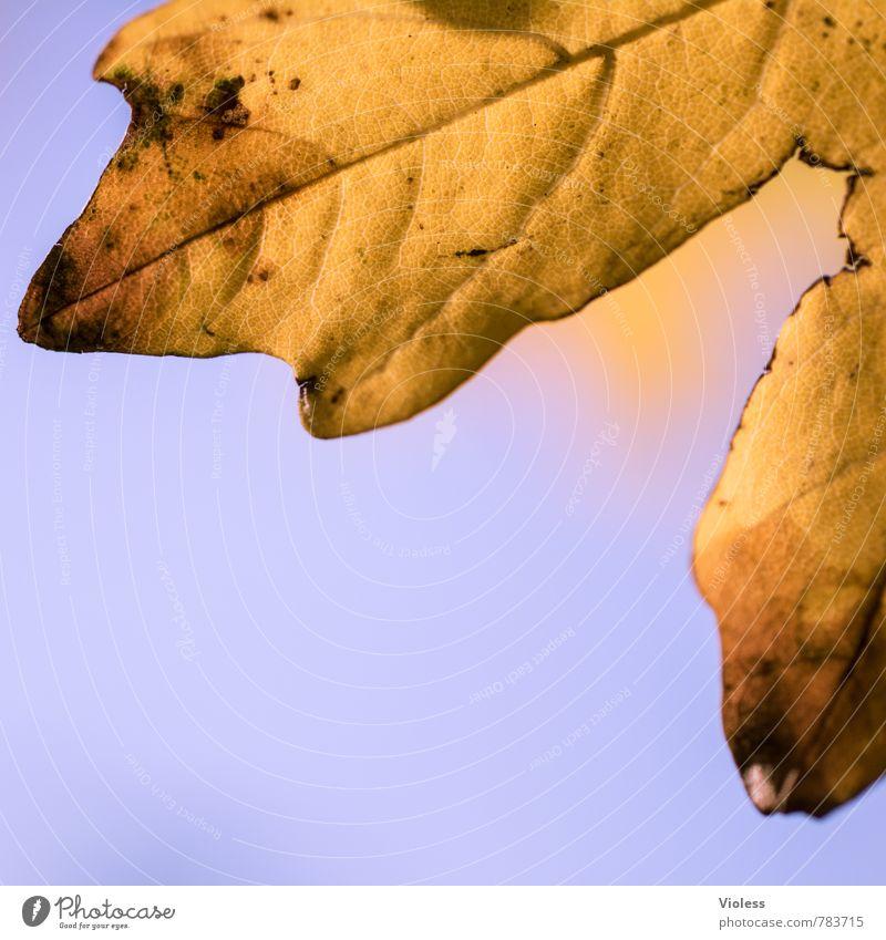 !Trash! | Eiche Natur Pflanze Blatt alt fallen gelb gold herbstlich Herbst Eichenblatt welk braun Makroaufnahme Strukturen & Formen