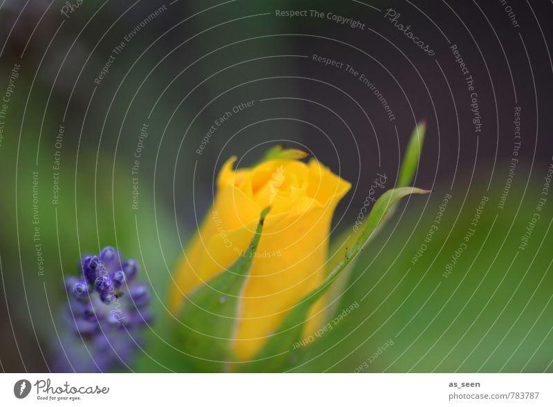 Klassische Kombination schön harmonisch ruhig Garten Gartenarbeit Umwelt Natur Pflanze Sommer Klima Blume Rose Blatt Blüte Lavendel Park Blühend leuchten