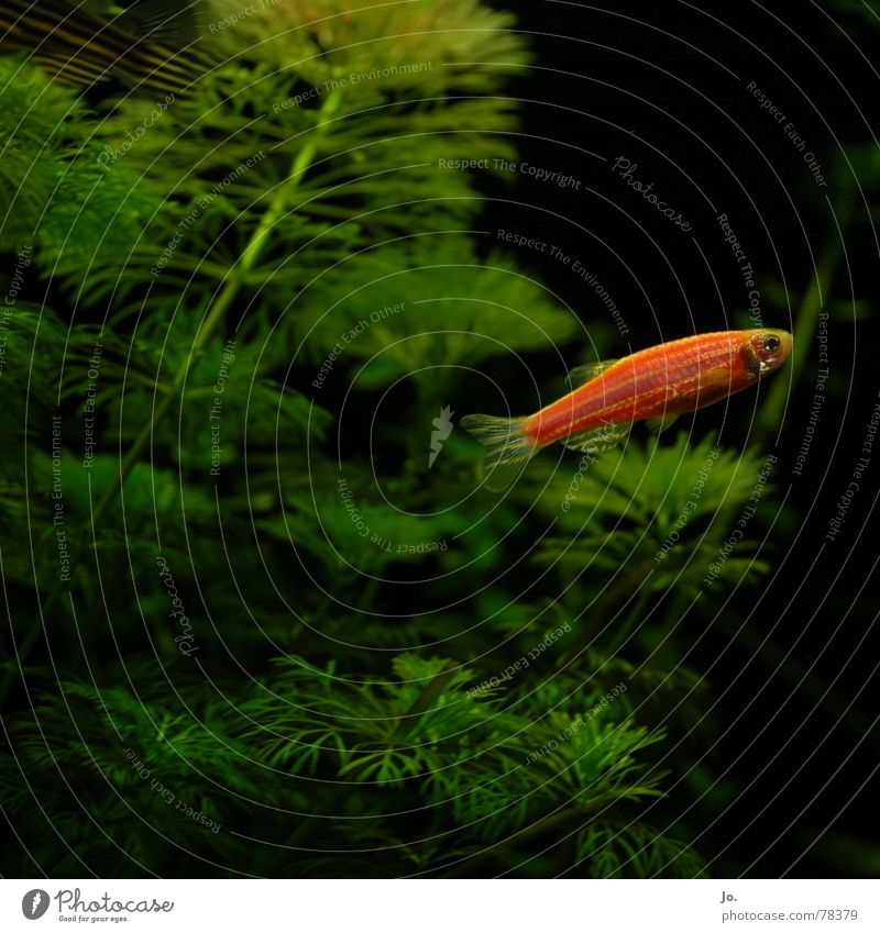*blub* Wasser grün rot schwarz Fisch Aquarium Wasserpflanze