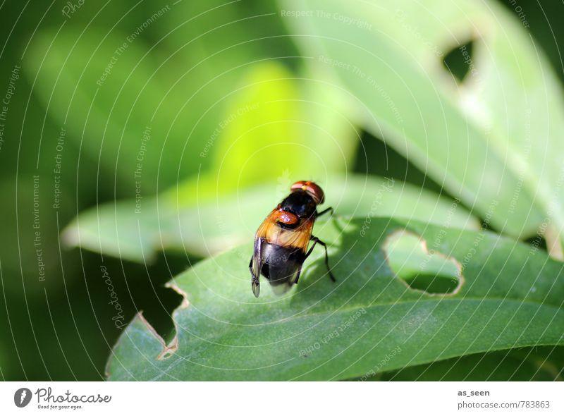 Schwebfliege Natur grün Pflanze Sommer Blatt Tier schwarz Wald Umwelt natürlich Garten braun orange Fliege Klima einfach