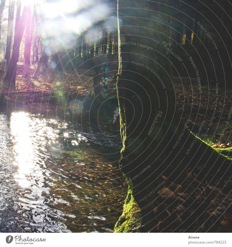 Zwei-Gipfel-Tour (Nachtrag) | Zauberwald II Natur Landschaft Wasser Herbst Schönes Wetter Pflanze Baum Moos Baumstamm Wald Alpen Bach glänzend leuchten braun