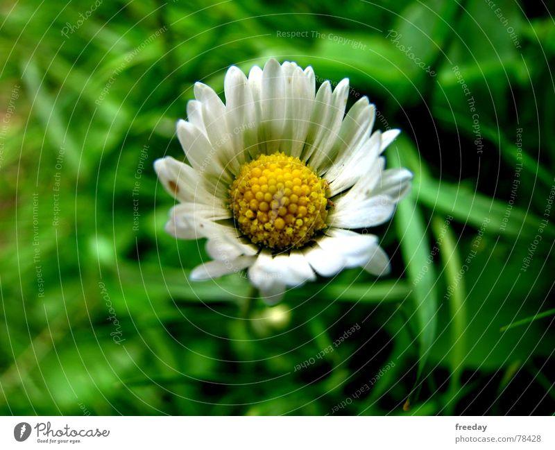 ::: Gänseblümchen ::: Natur Ferien & Urlaub & Reisen grün schön Sommer Blume Einsamkeit Freude gelb Leben Blüte Frühling Wiese Gras Glück klein