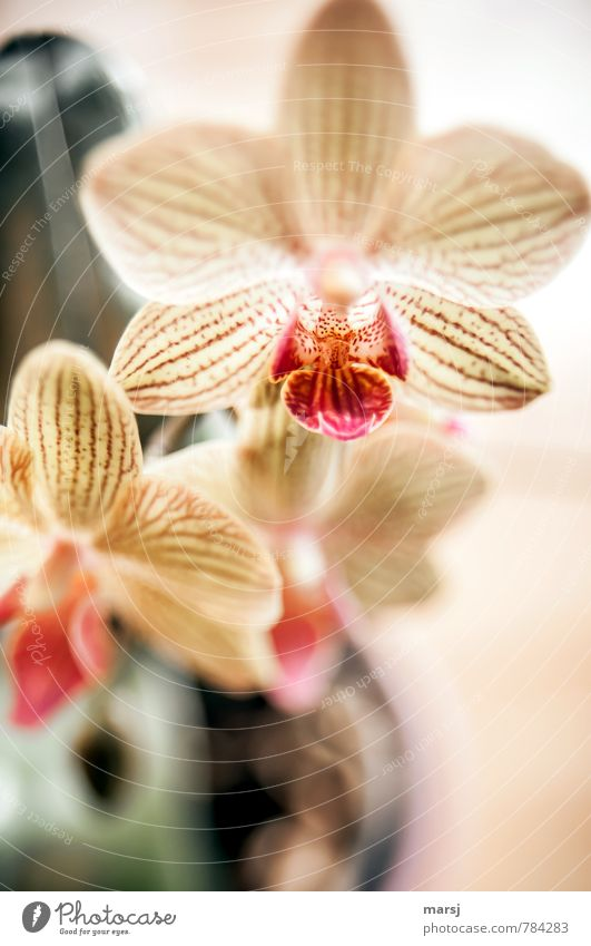 Von oben herab Natur Pflanze Blume Orchidee Topfpflanze exotisch Phalaenopsis Streifen Blühend leuchten authentisch einfach elegant Freundlichkeit frisch