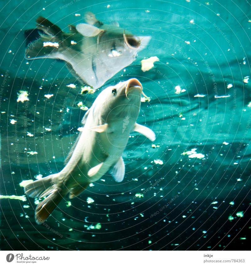 Fischsuppe Ernährung Wasser Teich Tier Wildtier Aquarium Karpfen 1 füttern Blick Schwimmen & Baden tauchen dreckig Ekel blau türkis Völlerei gefräßig