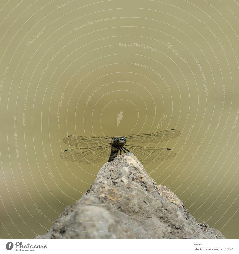 Vor dem Abflug Natur Pflanze Tier Wiese Schmetterling Flügel 1 fliegen bedrohlich schön Erotik Insekt animals dragonfly insects Libelle Farbfoto Außenaufnahme