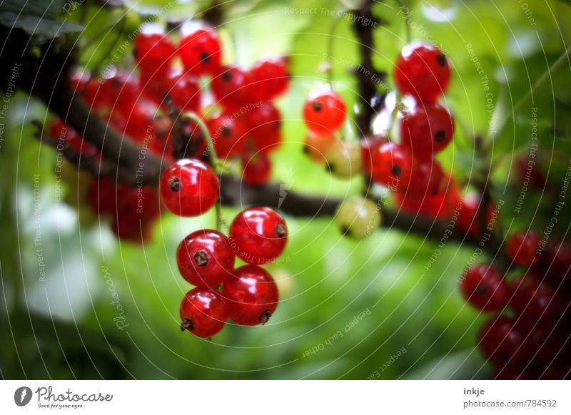 frisch Lebensmittel Frucht Ernährung Landwirtschaft Forstwirtschaft Natur Pflanze Sommer Schönes Wetter Nutzpflanze Johannisbeeren Johannisbeerstrauch Garten