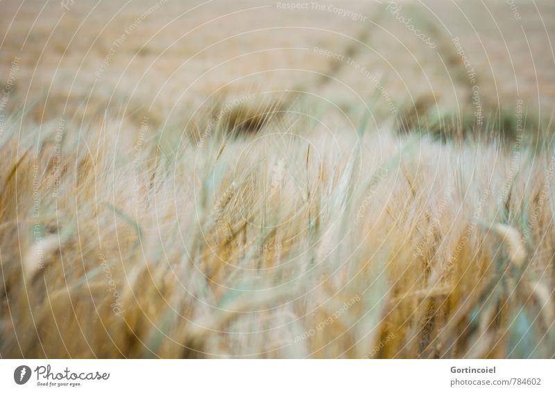 Feldstudie Natur grün Sommer Landschaft gelb gold Landwirtschaft Getreide Kornfeld Nutzpflanze Ähren Getreidefeld