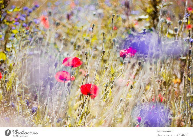 Summer Haze Umwelt Natur Landschaft Pflanze Sommer Schönes Wetter Blume Feld schön Wärme blau gelb rot Kornblume Mohn Klatschmohn Sommerblumen sommerlich