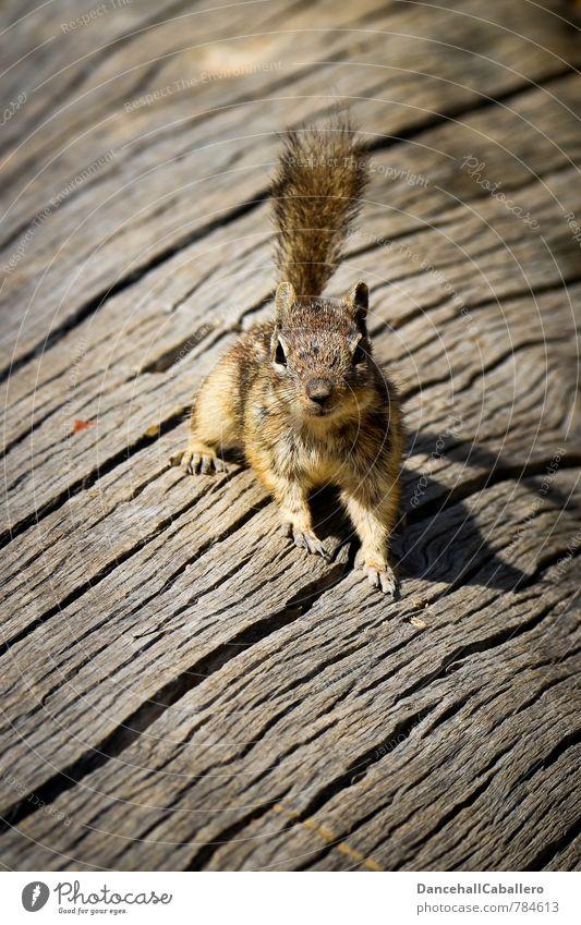 Hörnschen Natur schön Baum Tier Umwelt klein elegant Wildtier beobachten niedlich Neugier tierisch frech Baumrinde Eichhörnchen Nagetiere