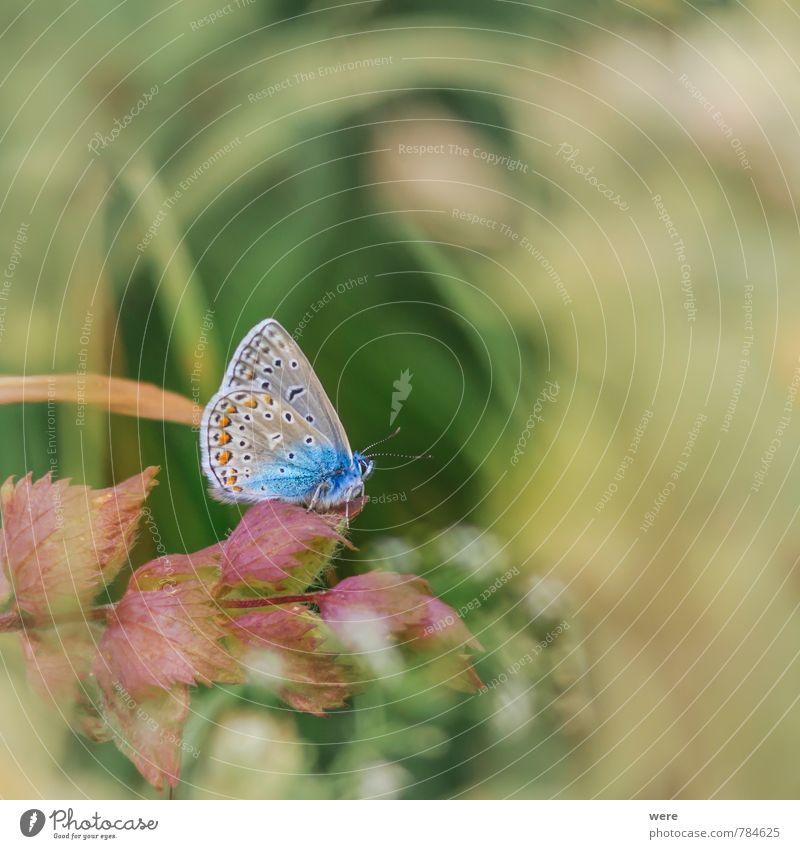 So blau Natur Tier Wiese Feld Schmetterling 1 fliegen elegant schön wild Bläulinge Hauhechelbläuling Insekt animals butterfly insects Farbfoto Außenaufnahme Tag