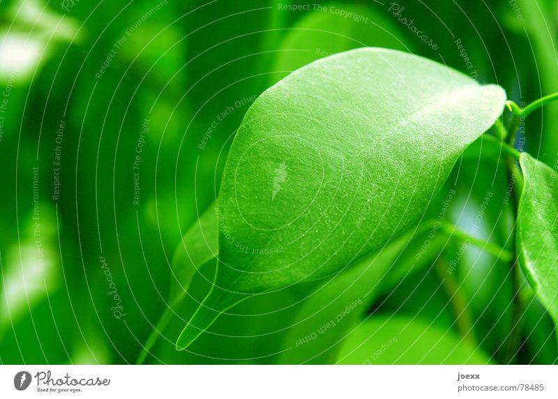 Abstauben! Reinigen Baum Blatt Pflanze giftgrün Licht Staub Staubwischen staubig Pflanzenteile Zierpflanze Zimmerpflanze Makroaufnahme Nahaufnahme Wohnzimmer