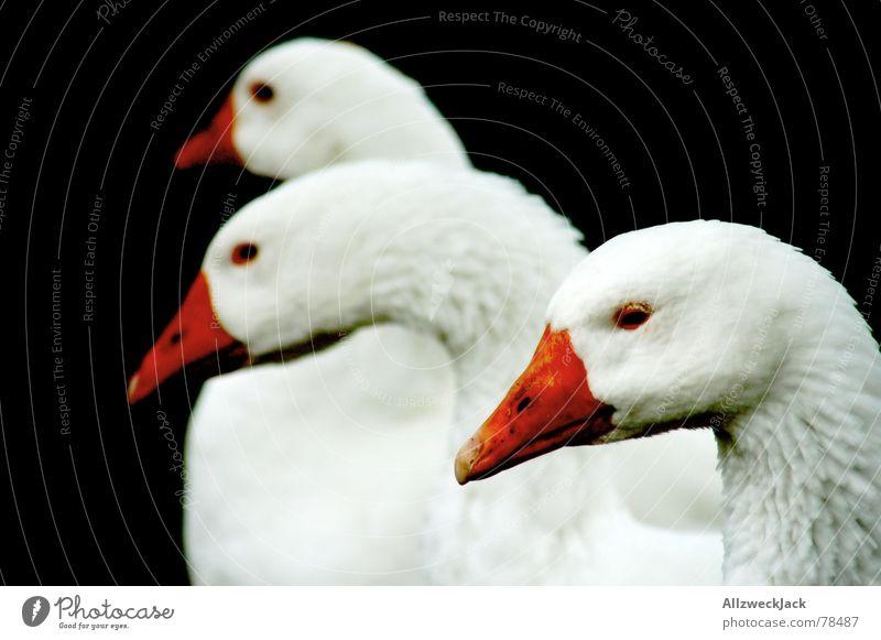 Die dreiköpfige Hydra-Gans Tier schwarz Ernährung Vogel Schnabel Gans Nutztier Federvieh Vogelgrippe