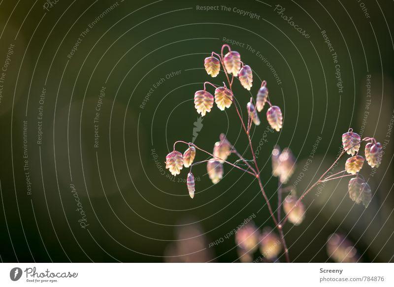 Zittergras in der Dämmerung... Natur Pflanze Frühling Sommer Gras Sträucher Wildpflanze Park Wiese Wald Wachstum klein braun gelb gold grün Frühlingsgefühle