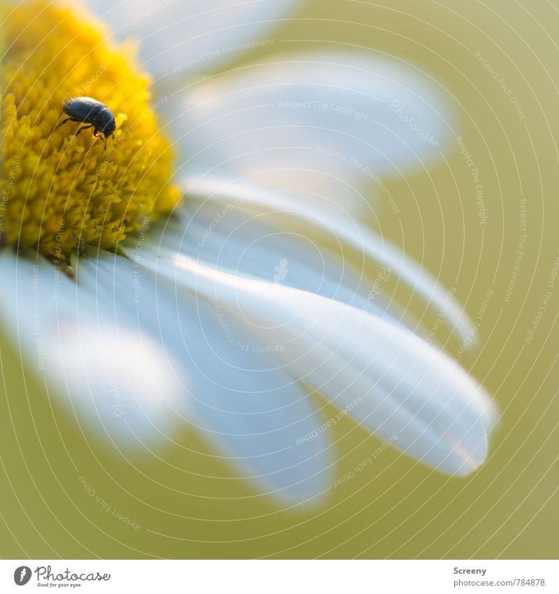 A Bug's Life Natur Pflanze Tier Frühling Sommer Blume Blatt Blüte Gänseblümchen Garten Park Wiese Käfer 1 Duft krabbeln Wachstum klein gelb weiß