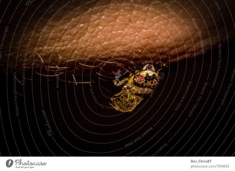 Kleiner Blutsauger Haut Umwelt Natur Tier Wildtier Fliege Käfer Tiergesicht Stechmücke 1 beobachten Essen Fressen hängen krabbeln sitzen trinken Aggression