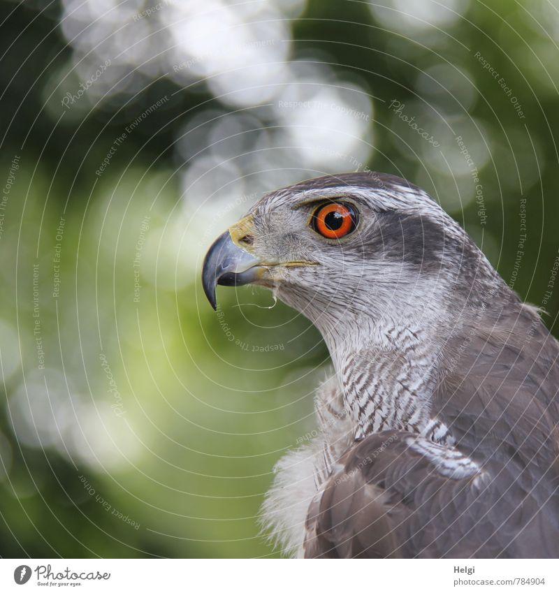 ich seh alles... Natur Tier Wildtier Vogel Tiergesicht Habichte Feder gefiedert Schnabel Auge 1 beobachten Blick ästhetisch schön einzigartig natürlich Neugier