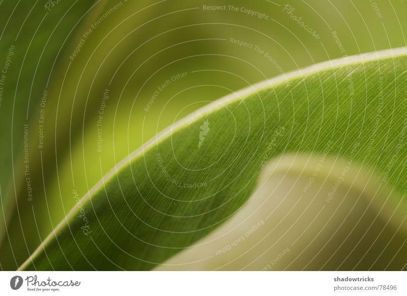 Kein Unkraut! 2te Banane grün Unschärfe Blatt Herbst Frühling Sommer frisch knackig Tiefenschärfe Pflanze ruhig Zimmerpflanze Topfpflanze satt Ernährung
