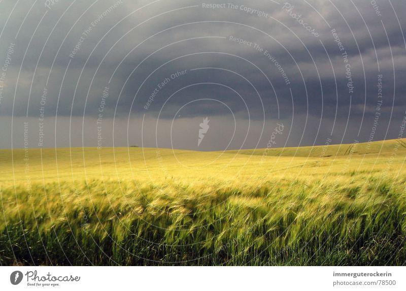 Felduntergang dunkel gelb Weizen bedrohlich Himmel Kontrast dunkler himmer ruhe vor dem sturm Getreide Traurigkeit